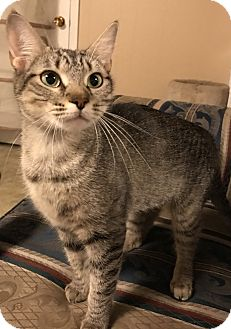 Domestic Shorthair Cat for adoption in Chattanooga, Tennessee - Snuggles