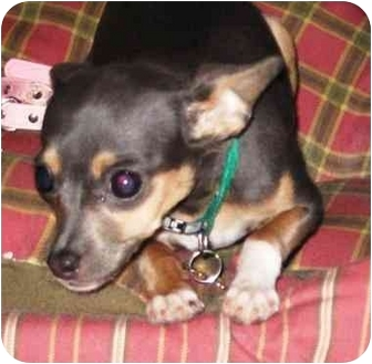 Chihuahua Dog for adoption in San Diego, California - Sophie