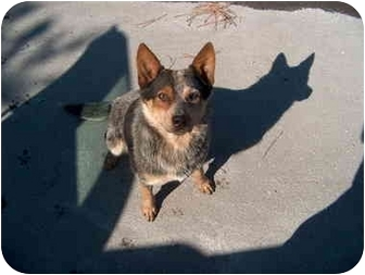 Australian Cattle Dog Mix Dog for adoption in Siler City, North Carolina - Courtesy 7