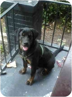 Rottweiler/Great Pyrenees Mix Puppy for adoption in Worcester, Massachusetts - Boston