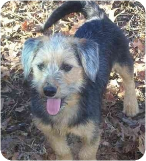 Wirehaired Fox Terrier/Yorkie, Yorkshire Terrier Mix Dog for adoption in Spring Valley, New York - Dutchess