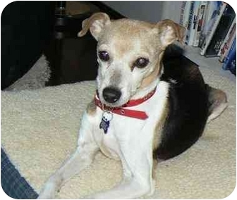 Jack Russell Terrier Mix Dog for adoption in Salem, Oregon - Clara