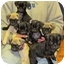 Photo 1 - Pug Puppy for adoption in Brodheadsville, Pennsylvania - Pug Litter