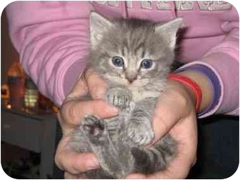 Domestic Mediumhair Kitten for adoption in Tracy, California - Cricket