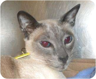 Siamese Cat for adoption in Springfield, Massachusetts - Mocha