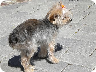 Yorkie, Yorkshire Terrier Dog for adoption in Orange County, California - Pumpkin