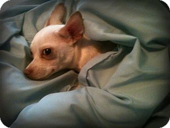 Chihuahua Dog for adoption in Sinking Spring, Pennsylvania - Milo