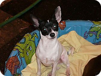 Chihuahua Dog for adoption in Liberty Center, Ohio - Baby