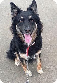 Border Collie/Shepherd (Unknown Type) Mix Dog for adoption in El Cajon, California - SweetPea