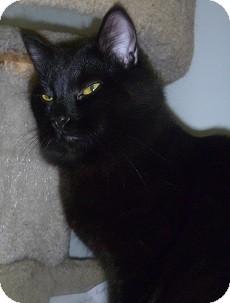 Domestic Mediumhair Cat for adoption in Hamburg, New York - Crafty