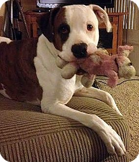 Great Dane/Boxer Mix Dog for adoption in Toledo, Ohio - Luke