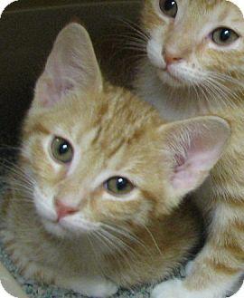 Domestic Shorthair Kitten for adoption in Tulsa, Oklahoma - Jot