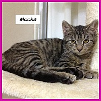 Domestic Shorthair Cat for adoption in Miami, Florida - Mocha