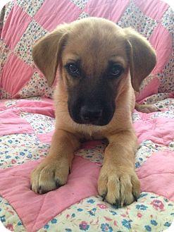 Labrador Retriever/German Shepherd Dog Mix Puppy for adoption in Bedminster, New Jersey - Mocha