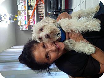 Maltese Mix Dog for adoption in Beverly Hills, California - Georgio