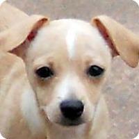 Adopt A Pet :: Baby Renatta - Oakley, CA