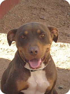 Labrador Retriever/American Pit Bull Terrier Mix Dog for adoption in Las Cruces, New Mexico - Piper