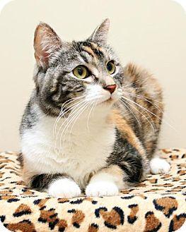 Domestic Shorthair Cat for adoption in Bellingham, Washington - Sundae
