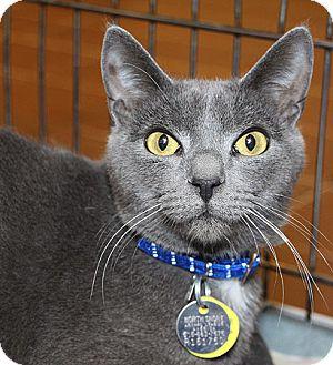 Domestic Shorthair Cat for adoption in Port Washington, New York - Viking