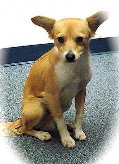 Tibetan Spaniel/Spitz (Unknown Type, Medium) Mix Dog for adoption in Phoenix, Arizona - Fox