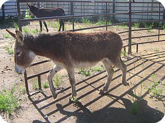 Donkey/Mule/Burro/Hinny for adoption in Austin, Texas - Petunia