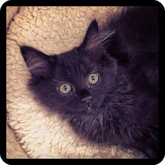 Domestic Longhair Kitten for adoption in Chattanooga, Tennessee - Antonio