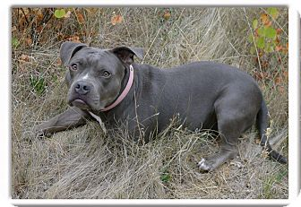 American Staffordshire Terrier Dog for adoption in Sacramento, California - Mellie loves dogs