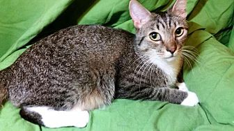 Domestic Shorthair Cat for adoption in Sarasota, Florida - Sassy