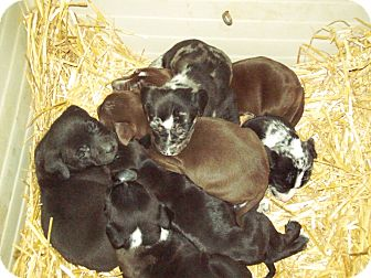 Labrador Retriever Mix Puppy for adoption in Pompton Lakes, New Jersey - Lola lab puppies