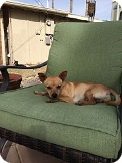 Chihuahua Mix Dog for adoption in Mesa, Arizona - Parker