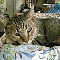 Domestic Shorthair Cat for adoption in Los Angeles, California - Oscar