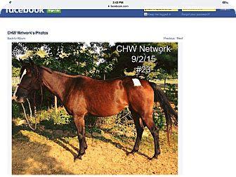 Quarterhorse Mix for adoption in farmingville, New York - Cheyenne
