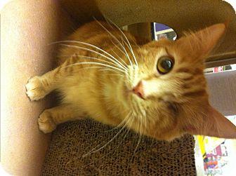 Domestic Mediumhair Cat for adoption in Lake Elsinore, California - Julia