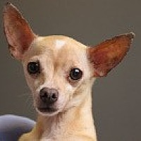 Chihuahua Mix Dog for adoption in Georgetown, Colorado - Bella