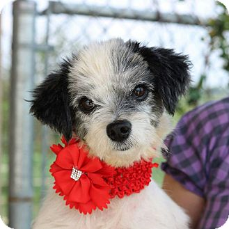 Shih Tzu Mix Dog for adoption in San Francisco, California - Rally