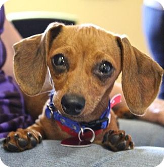 Dachshund Puppy for adoption in Winters, California - Slinky