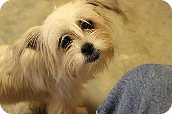 Shih Tzu Mix Dog for adoption in Hershey, Pennsylvania - Miss Muffet