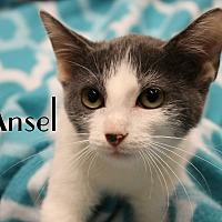 Domestic Shorthair Kitten for adoption in Wichita Falls, Texas - Ansel
