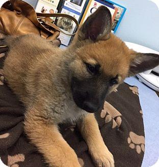 German Shepherd Dog Mix Puppy for adoption in Woodinville, Washington - Nora