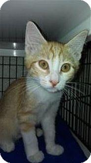 Domestic Shorthair Kitten for adoption in Lincoln, California - Tazlina