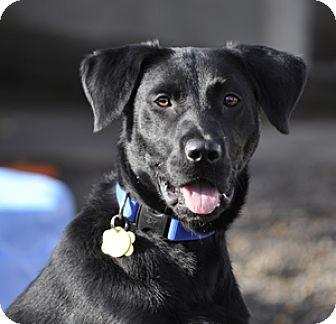 Labrador Retriever Mix Dog for adoption in Woodburn, Oregon - Buddy - ADOPTION PENDING