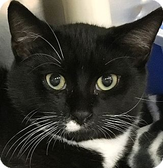 Domestic Shorthair Cat for adoption in Clayville, Rhode Island - Linus