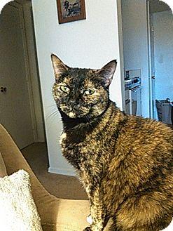 Domestic Shorthair Cat for adoption in Richmond, Virginia - Morgan