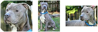 American Staffordshire Terrier Mix Dog for adoption in Forked River, New Jersey - Quentin