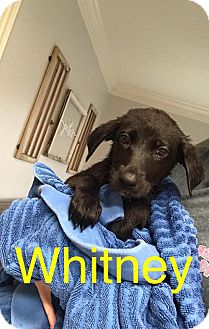 Labrador Retriever Mix Puppy for adoption in Beaumont, Texas - Whitney