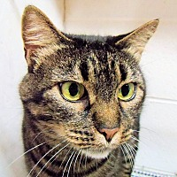 Manx Cat for adoption in Morganton, North Carolina - Anne Marie