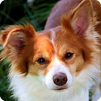 Adopt A Pet :: CHASE(OUR PAPILLON-SO SWEET! - Wakefield, RI