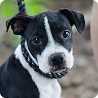 Adopt A Pet :: Tara $250 - Seneca, SC