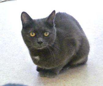 Russian Blue/Domestic Shorthair Mix Kitten for adoption in Camano Island, Washington - Saphire