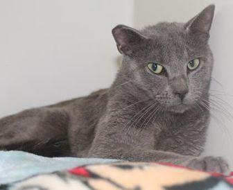 Domestic Shorthair/Domestic Shorthair Mix Cat for adoption in Robinson, Illinois - Greyson